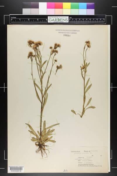 Erigeron acris L. subsp. politus (Fr.) H.Lindb.