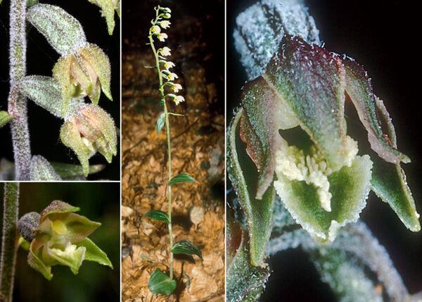 Epipactis microphylla (Ehrh.) Sw.