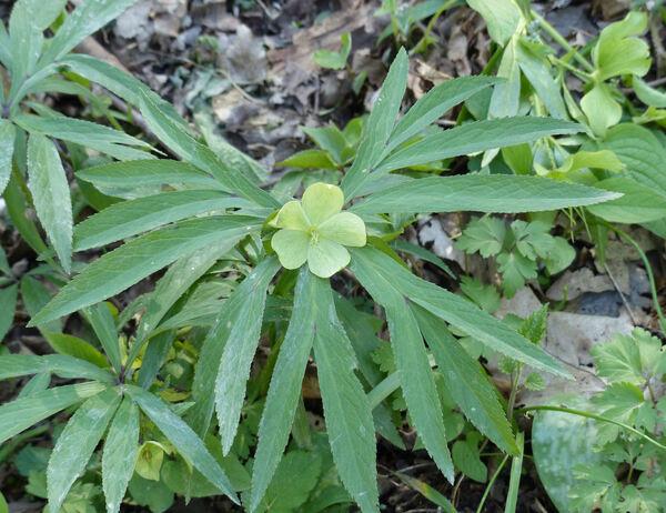 Helleborus viridis L. subsp. viridis