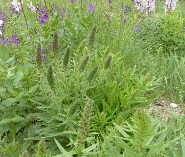 Pontechium maculatum (L.) Böhle & Hilger