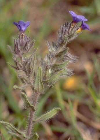 Buglossoides incrassata (Guss.) I.M.Johnst. subsp. splitgerberi (Guss.) E.Zippel & Selvi