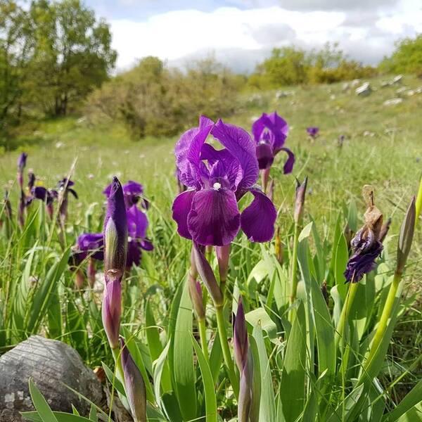 Iris marsica I.Ricci & Colas.
