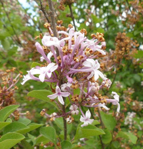 Syringa pubescens Turcz.  subsp. microphylla (Diels) M.C.Chang & X.L.Chen