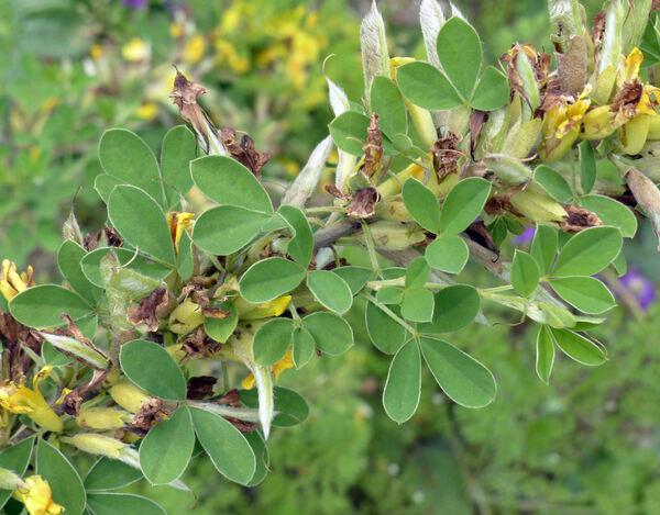 Chamaecytisus ratisbonensis (Schaeff.) Rothm.