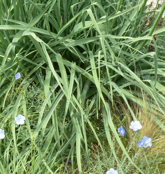 Asphodelus albus Mill. subsp. albus