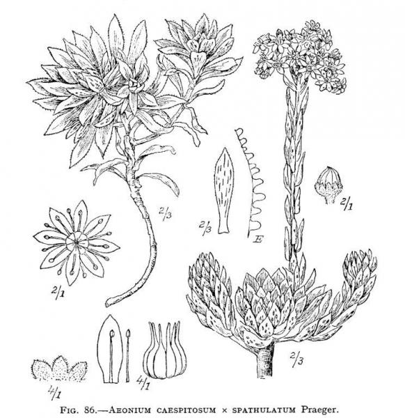Aeonium ×hybridum (Haw.) G.D.Rowley