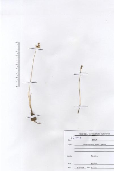 Allium franciniae Brullo & Pavone