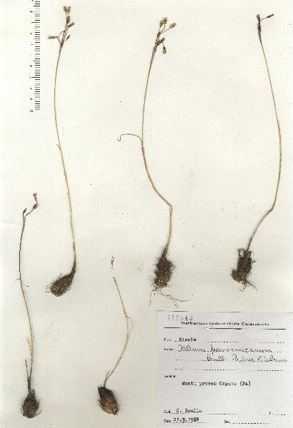 Allium panormitanum Brullo, Pavone & Salmeri