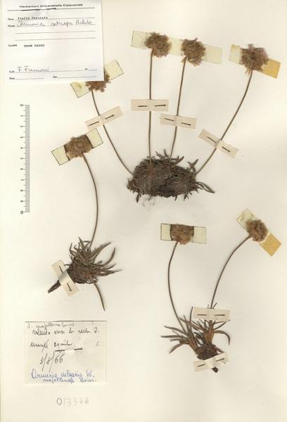 Armeria seticeps Rchb.