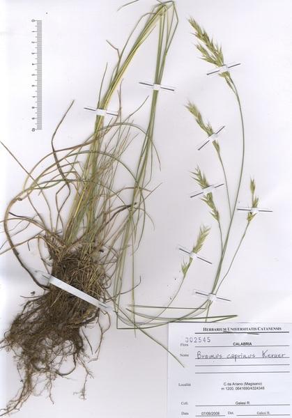 Bromopsis caprina (A.Kern. ex Hack.) Banfi & N.G.Passal.