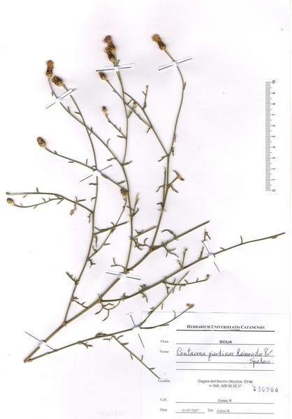 Centaurea giardinae Raimondo & Spadaro