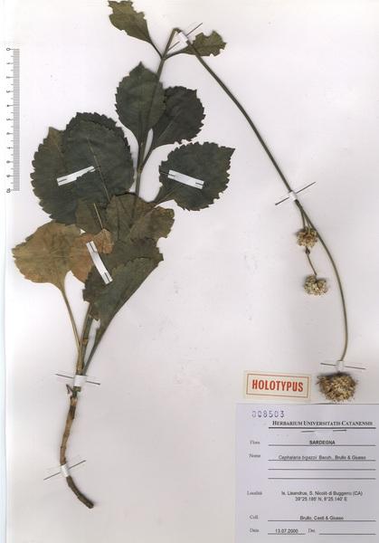 Cephalaria squamiflora (Sieber) Greuter subsp. bigazzii (Bacch., Brullo & Giusso) Domina