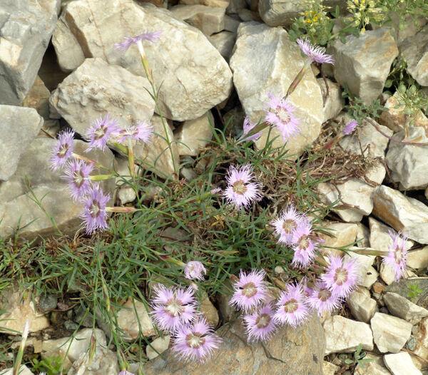 Dianthus sternbergii Sieber ex Capelli