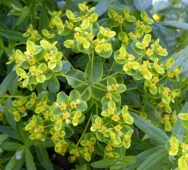 Euphorbia illirica Lam.