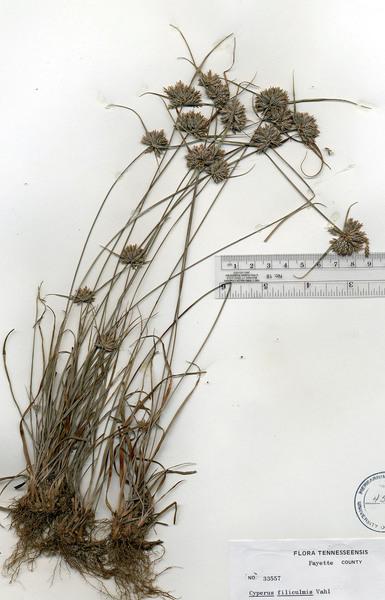 Cyperus lupulinus (Spreng.) Marcks