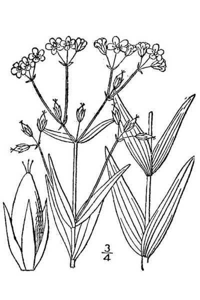 Hypericum majus (A.Gray) Britton