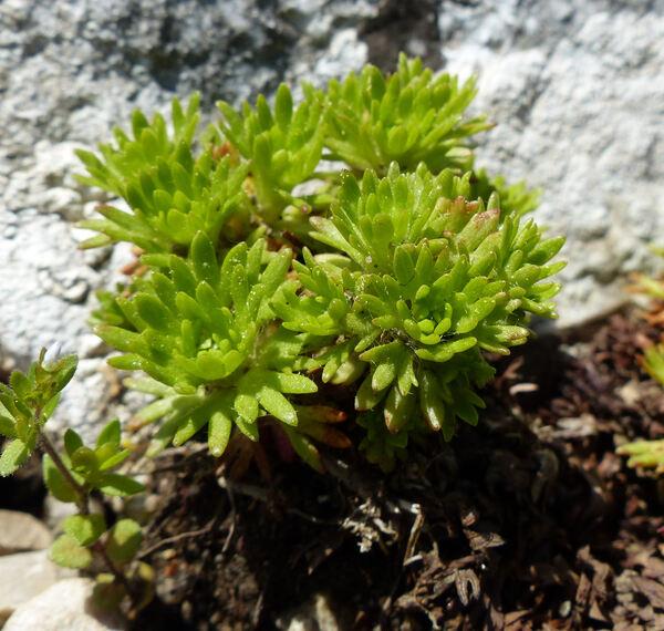 Saxifraga tombeanensis Boiss. ex Engl.
