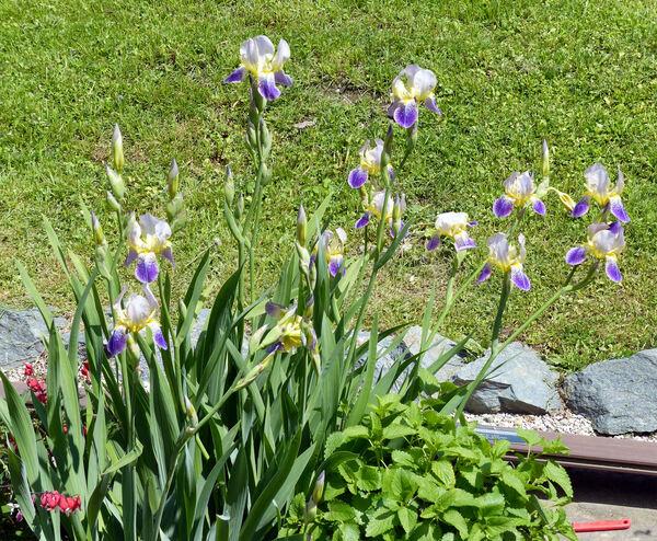 Iris germanica L.