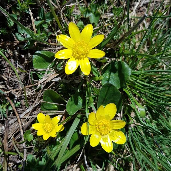 Ficaria verna Huds. subsp. calthifolia (Rchb.) Nyman