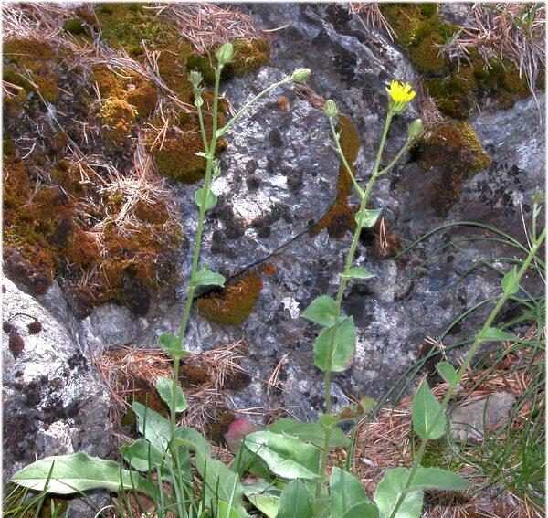 Hieracium amplexicaule L. subsp. amplexicaule