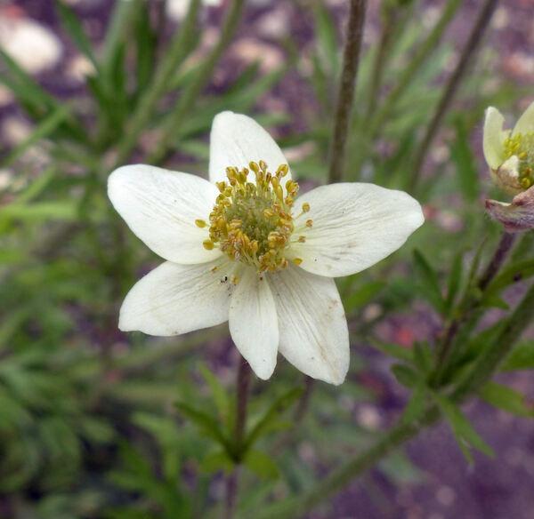 Anemone multifida Poir.