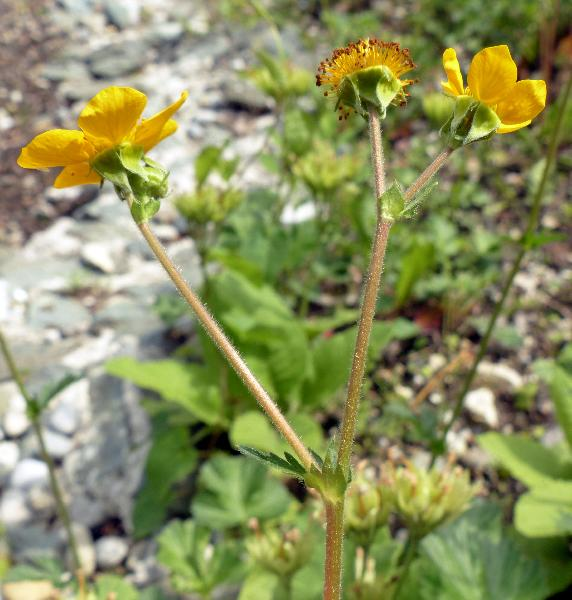 Geum magellanicum Comm. ex Pers.