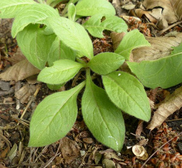 Knautia ×norica Ehrend.