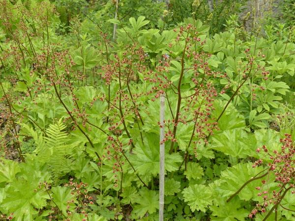 Darmera peltata (Torr. ex Benth.) Voss