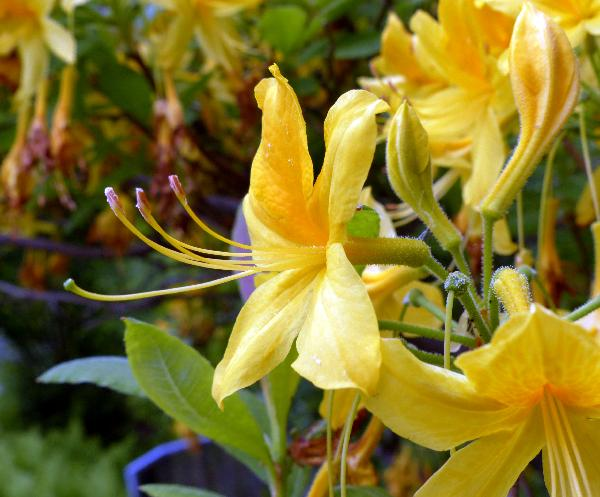 Rhododendron luteum Sweet