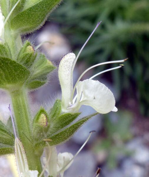 Salvia austriaca Jacq.