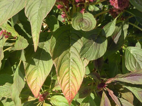 Amaranthus hybridus L. subsp. hypochondriacus (L.) Thell.