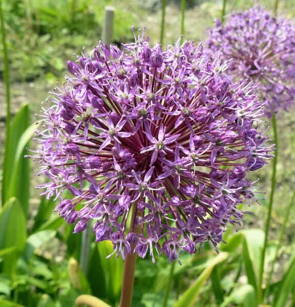 Allium giganteum Regel