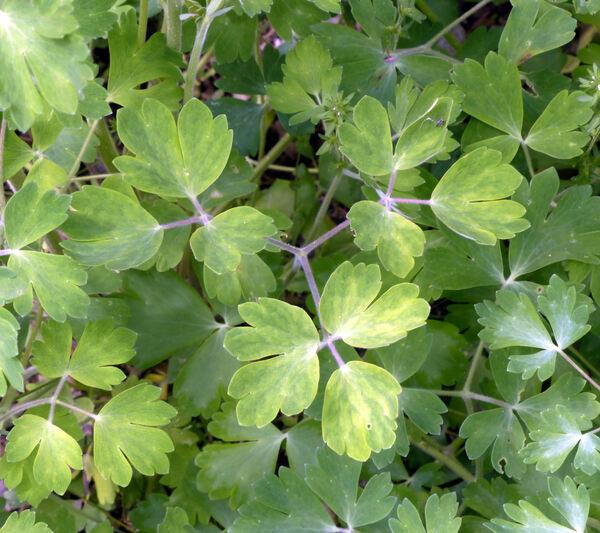 Aquilegia magellensis F.Conti & Soldano