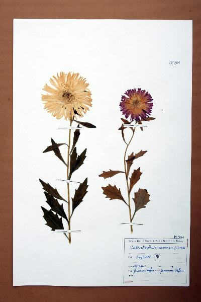 Callistephus chinensis (L.) Nees