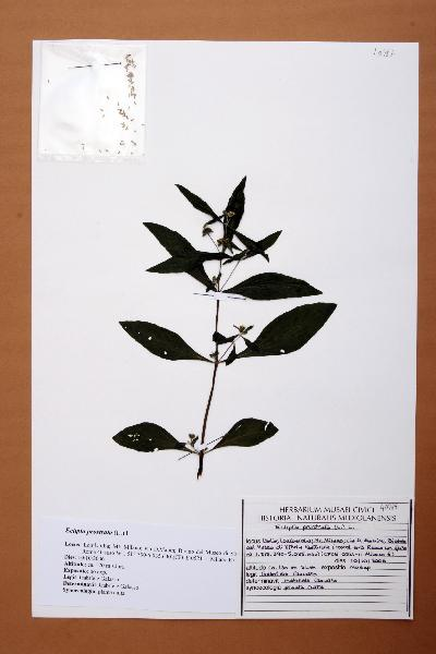 Eclipta prostrata (L.) L.