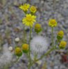 Senecio leucanthemifolius Poir. subsp. vernalis (Waldst. & Kit.) Greuter