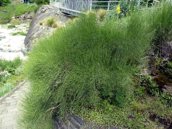 Ephedra major Host subsp. procera (C.A.Mey.) Bornm.