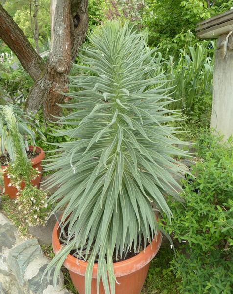 Echium wildpretii H.Pearson ex Hook.f.