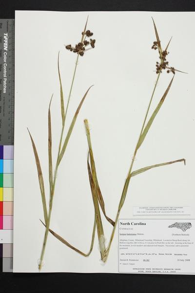 Scirpus atrovirens Willd. subsp. hattorianus (Makino) Verloove & Lambinon