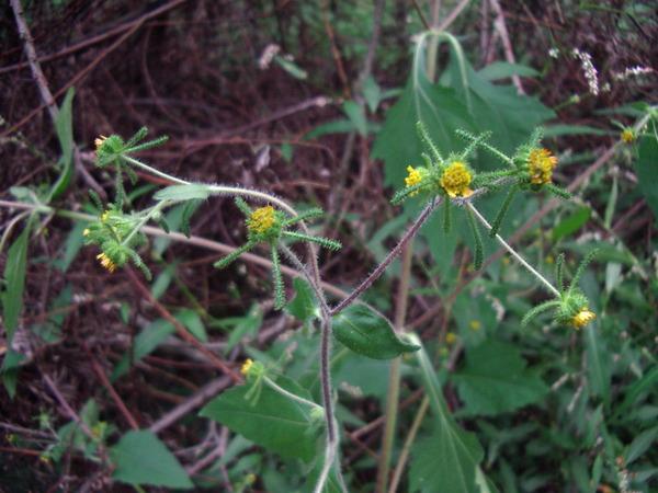 Sigesbeckia orientalis L.