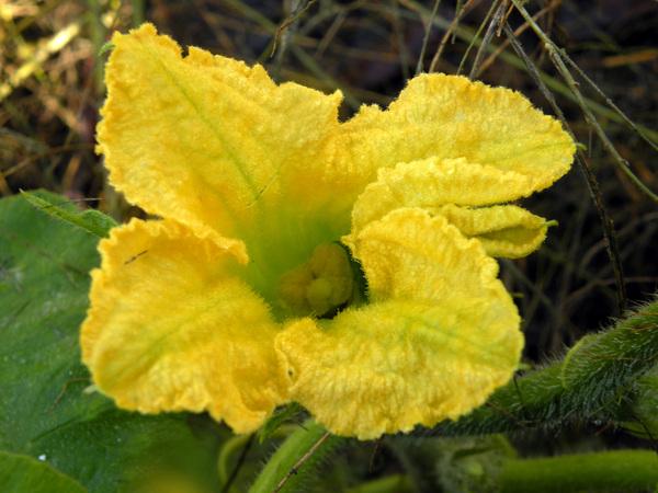 Cucurbita maxima Duchesne subsp. maxima