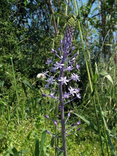 Nectaroscilla hyacinthoides (L.) Parl.