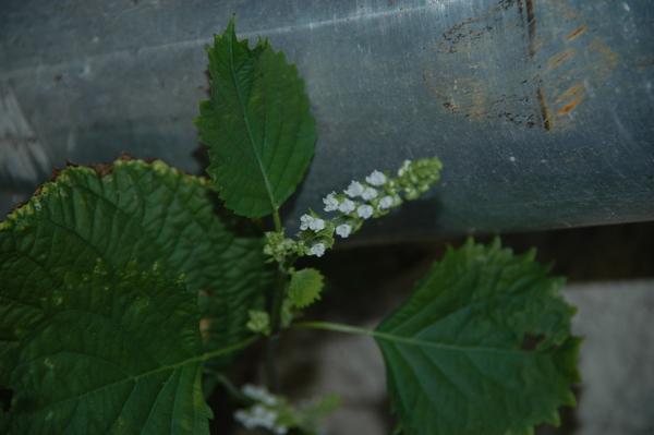 Perilla frutescens (L.) Britton