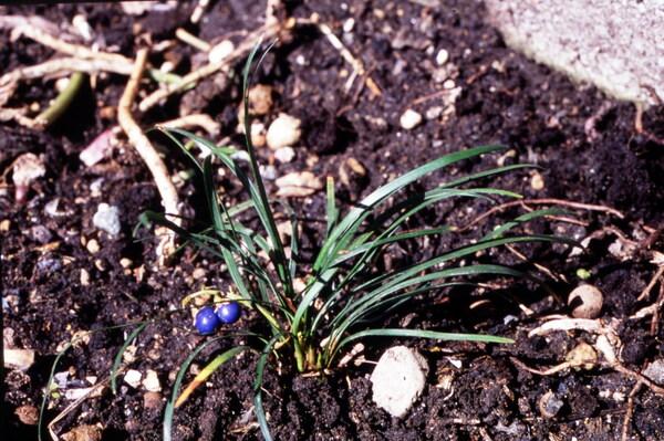 Ophiopogon japonicus (L.f.) Ker Gawl.