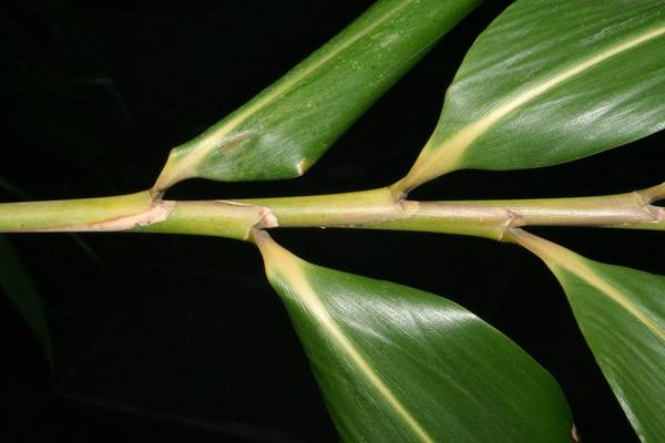 Pseudosasa japonica (Siebold & Zucc. ex Steud.) Makino ex Nakai