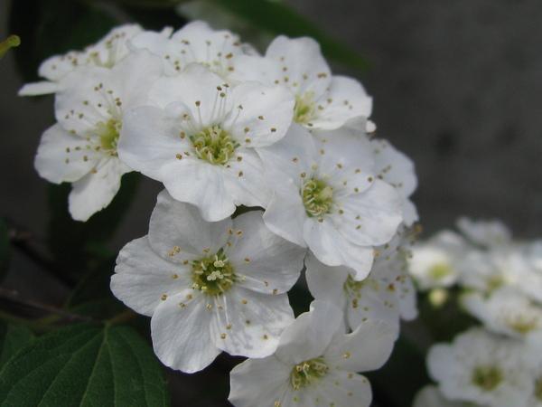 Spiraea ×vanhouttei (Briot) Carrière