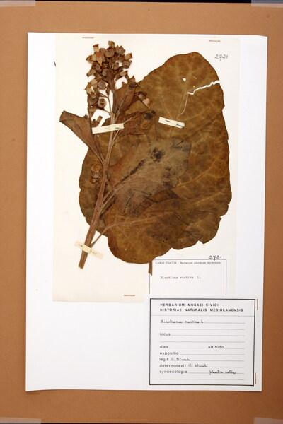 Nicotiana rustica L.