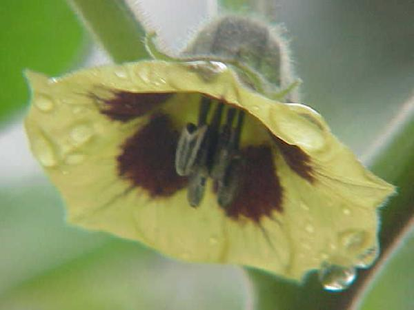 Physalis peruviana L.