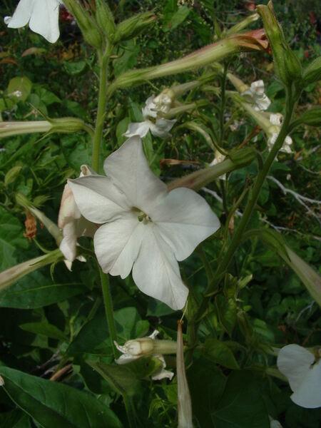 Nicotiana ×sanderae W.Watson