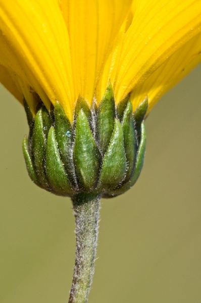 Helianthus ×laetiflorus Pers.